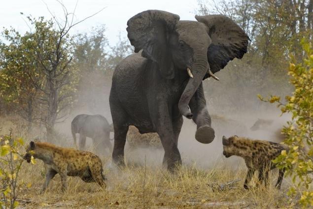 elephant-fighting-hyenas